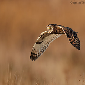 A Short Eared Owl out hunting in the late winter sunshine.