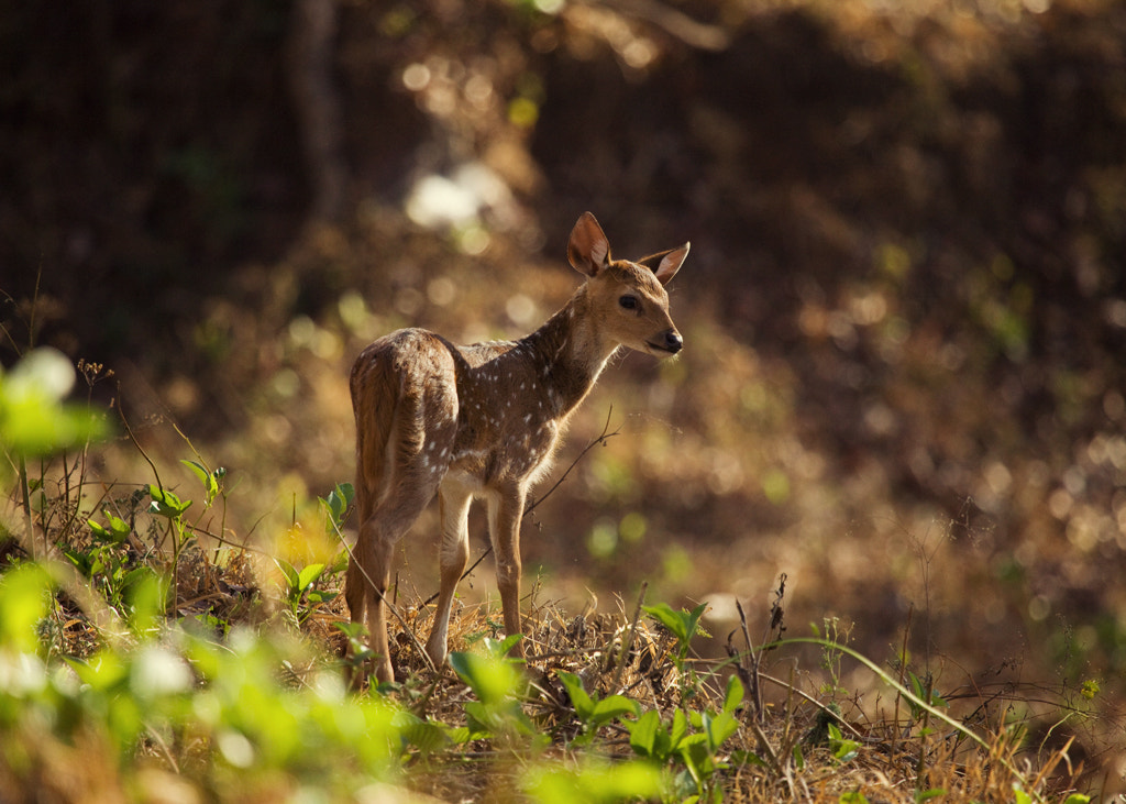 Photograph Baby Spotted Deer by Vinoth Chandar on 500px