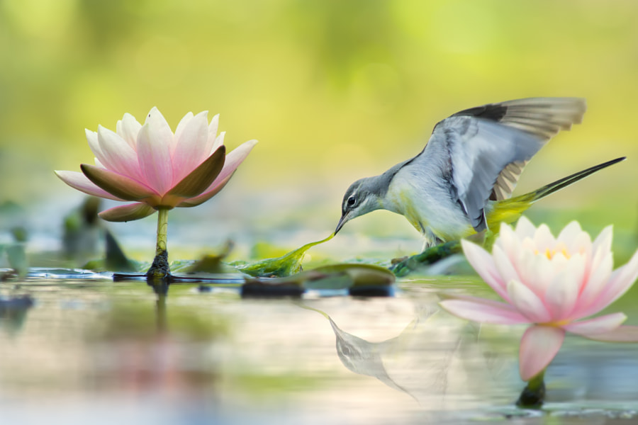 Gray Wagtail and Lotus 灰鶺鴒和蓮花, автор — FuYi Chen на 500px.com
