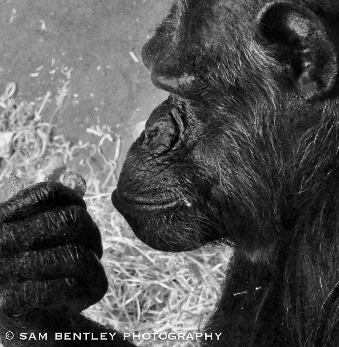 Photograph Thinking ape by Sam Bentley on 500px