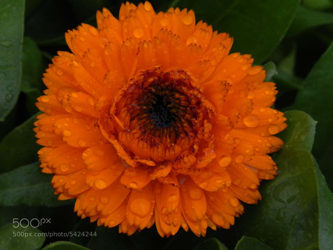 Photograph a wet orange flower by Liora Levin on 500px