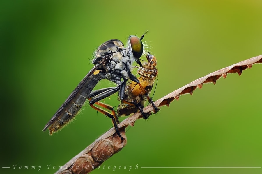 Photograph Robber fly by Tommy Tomson on 500px