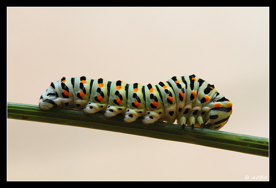 Photograph Oruga machaon by Alba g on 500px