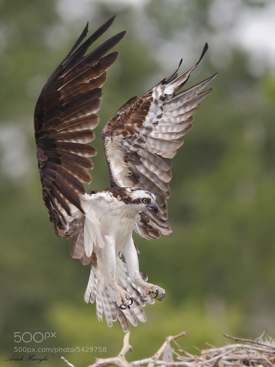 Photograph OSprey landing in the nest by Ari Hazeghi on 500px