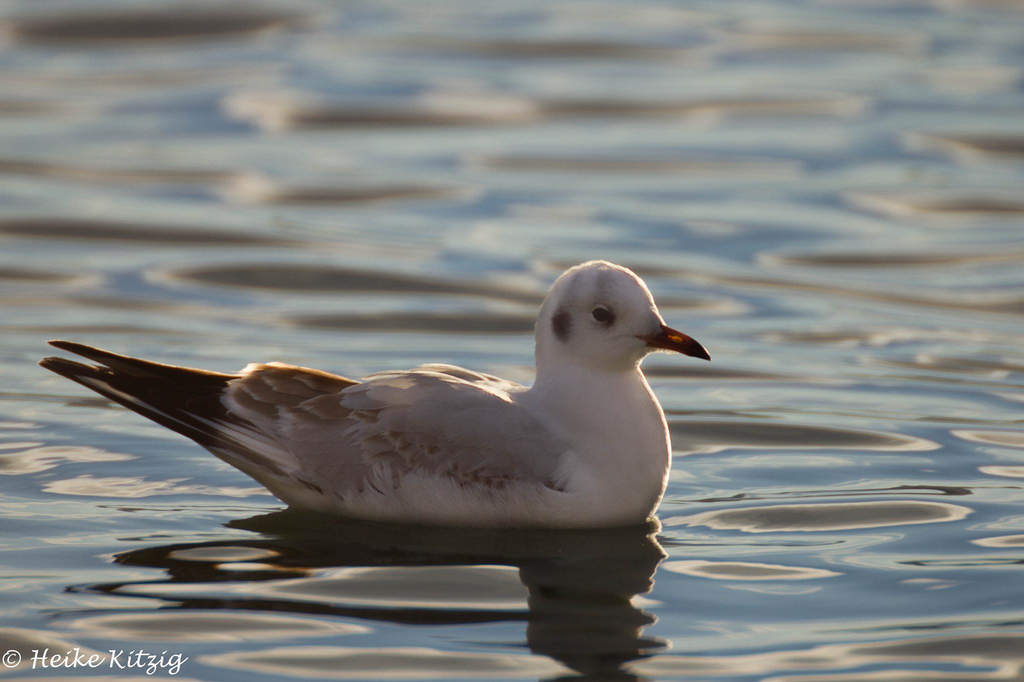 Photograph Seagull Lake Constance by Heike Kitzig on 500px