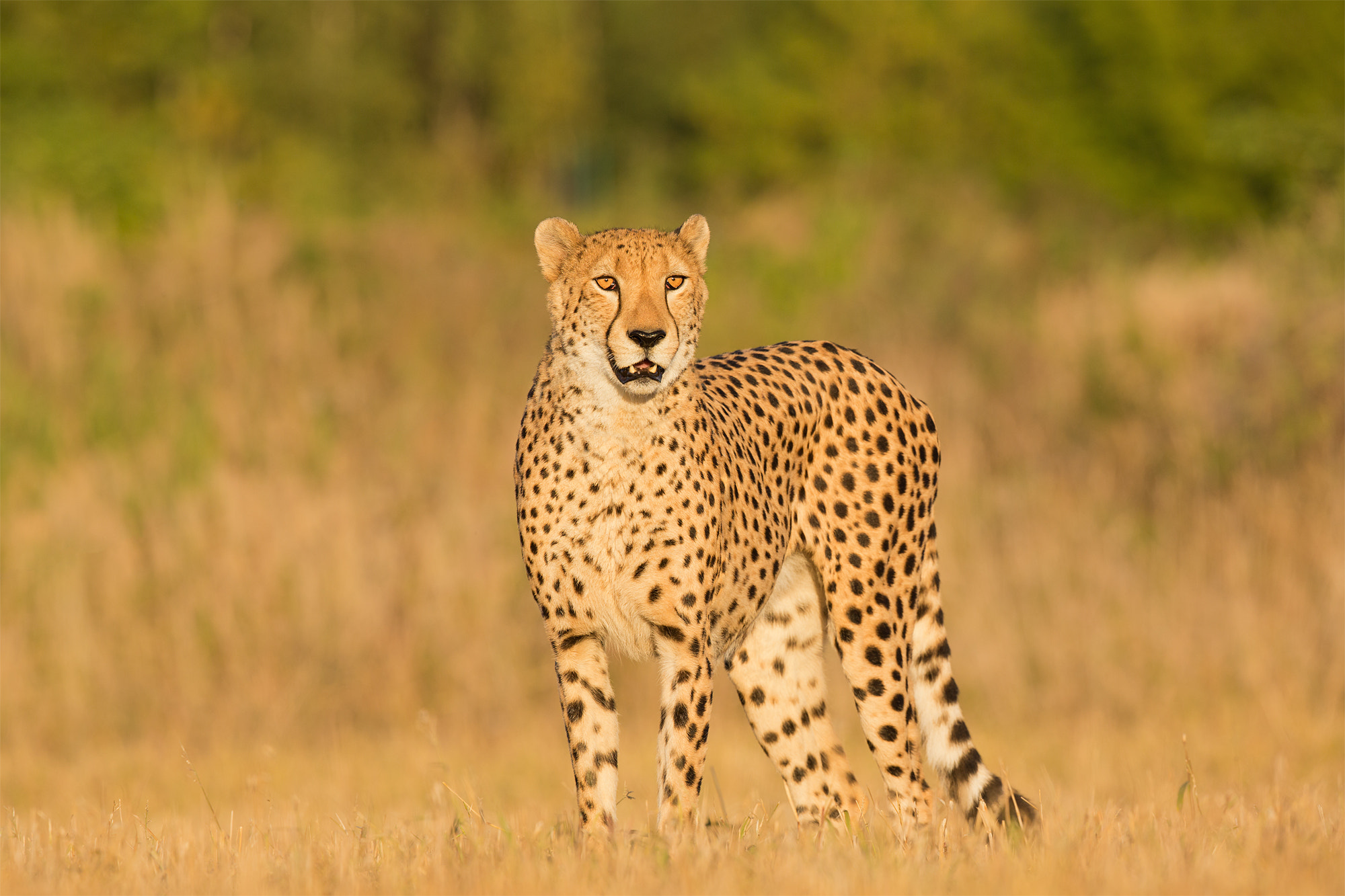 Photograph Cheetah by Milan Zygmunt on 500px