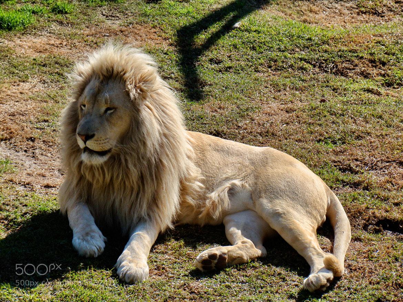 Photograph White Lion by JOLIVET. V on 500px