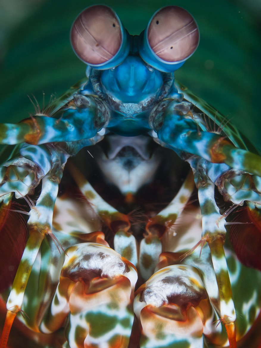 Photograph Mantis Shrimp Portrait by Jean Wimmerlin on 500px