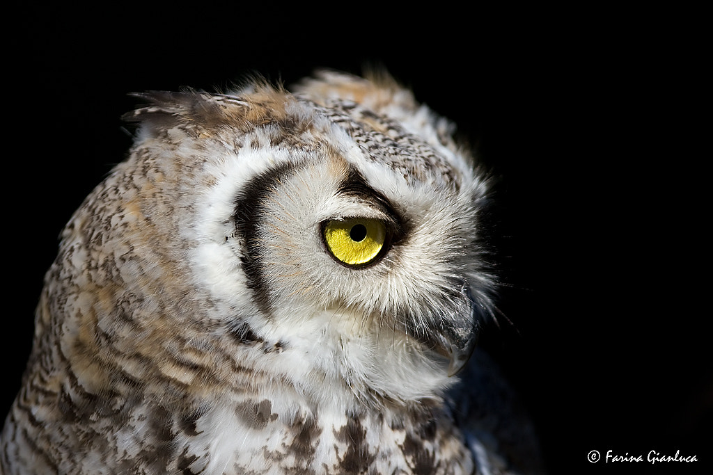 Photograph Owl by Gianluca Farina on 500px