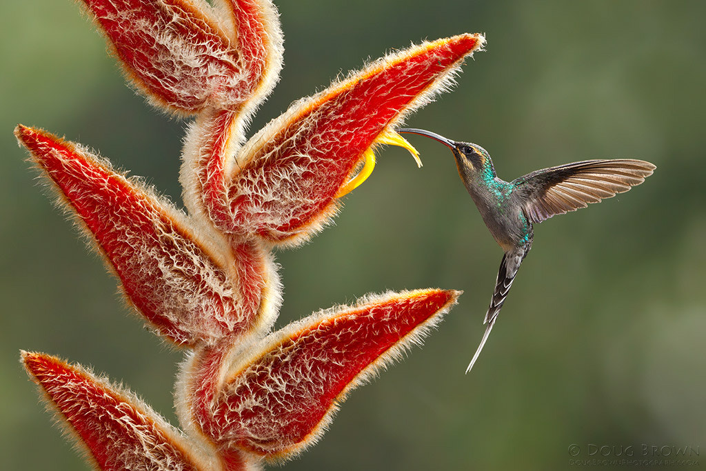 Photograph Green Hermit by Doug Brown on 500px