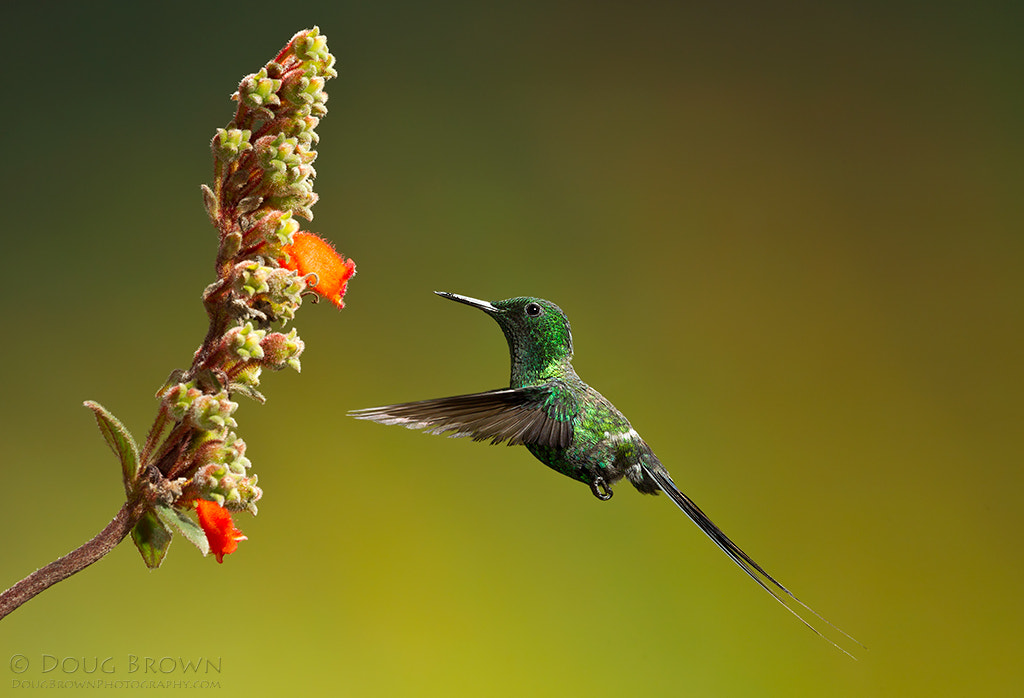 Photograph Green Thorntail by Doug Brown on 500px