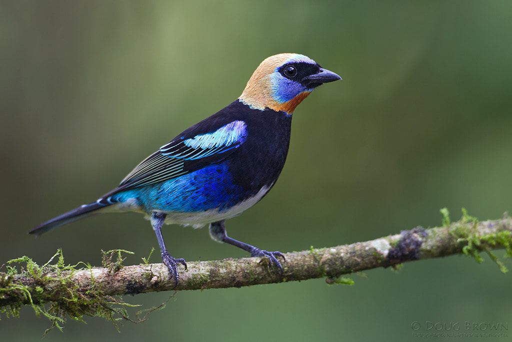 Photograph Golden-hooded Tanager by Doug Brown on 500px