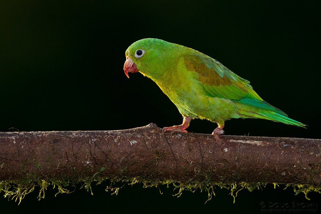 Photograph Orange-chinned Parakeet by Doug Brown on 500px