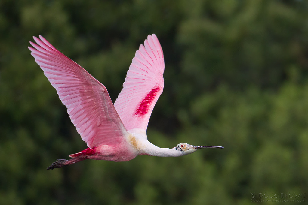 Photograph Roseate Spoonbill by Doug Brown on 500px