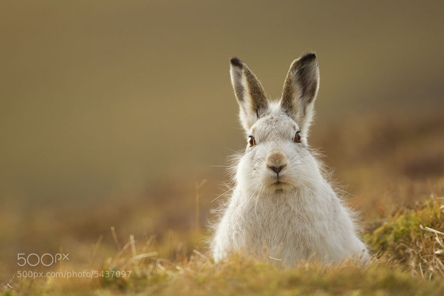 Photograph Mountain hare by Mark Hamblin on 500px
