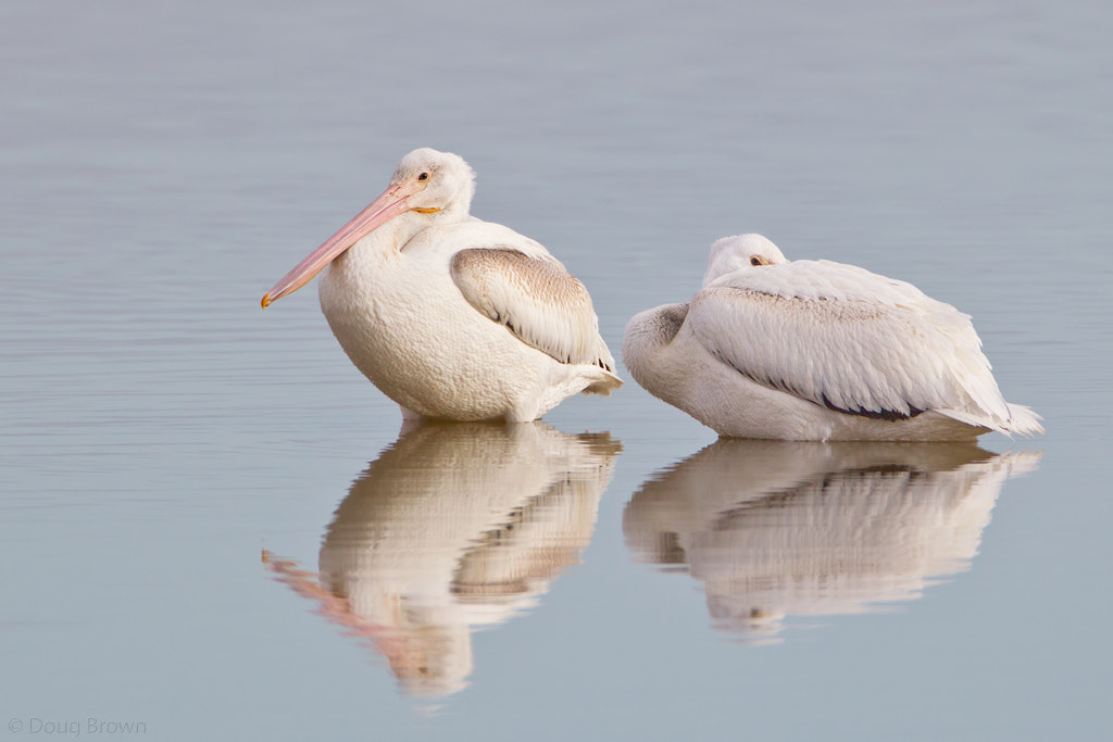 Photograph American White Pelicans by Doug Brown on 500px