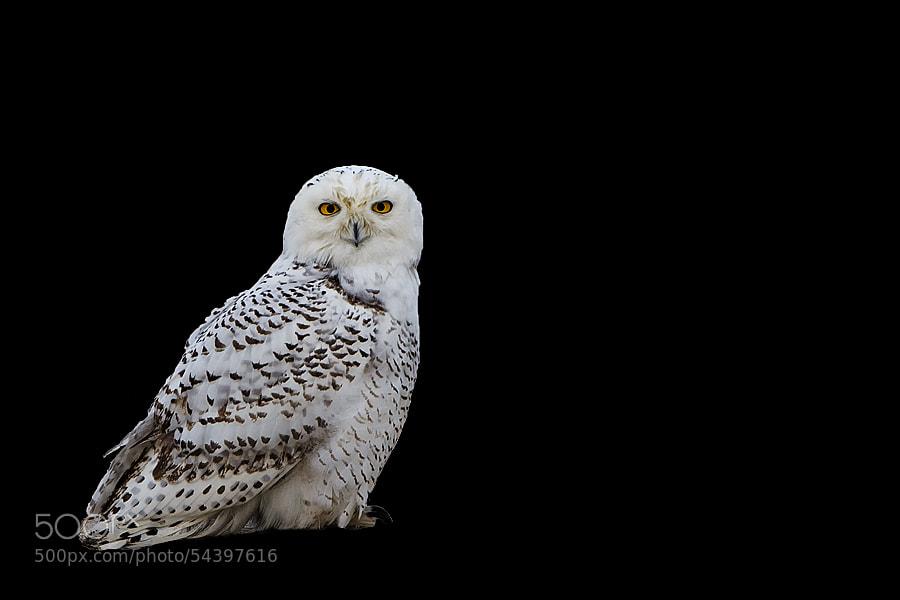 Photograph Owl by Darek Siusta on 500px