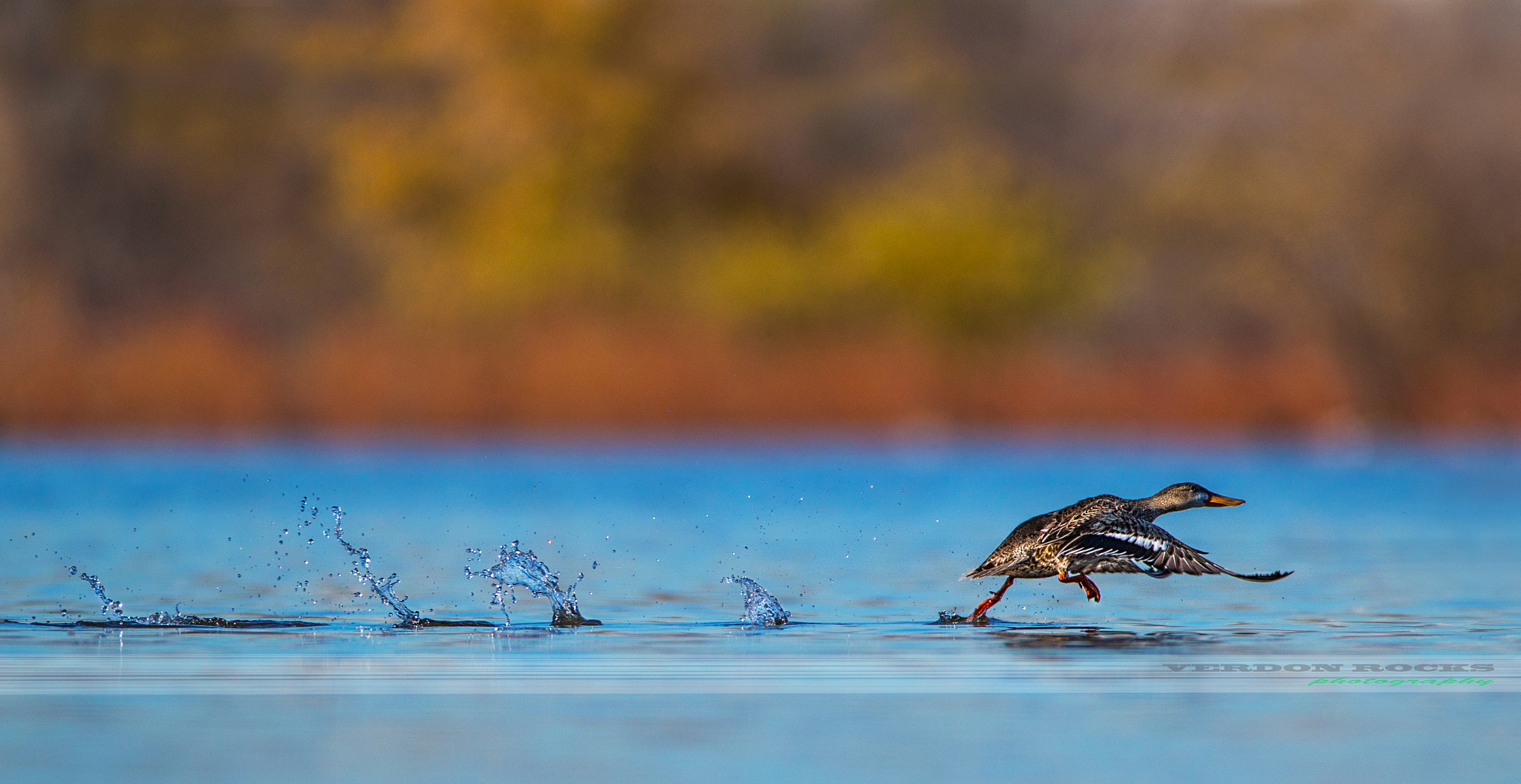 Photograph Run shoveler run by VERDON ROCKS on 500px
