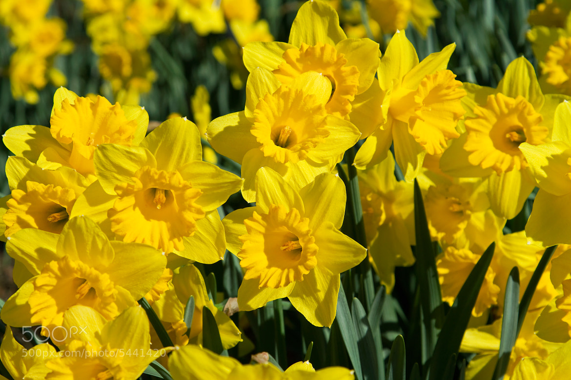 Photograph Daffodils by Lorraine Hudgins on 500px