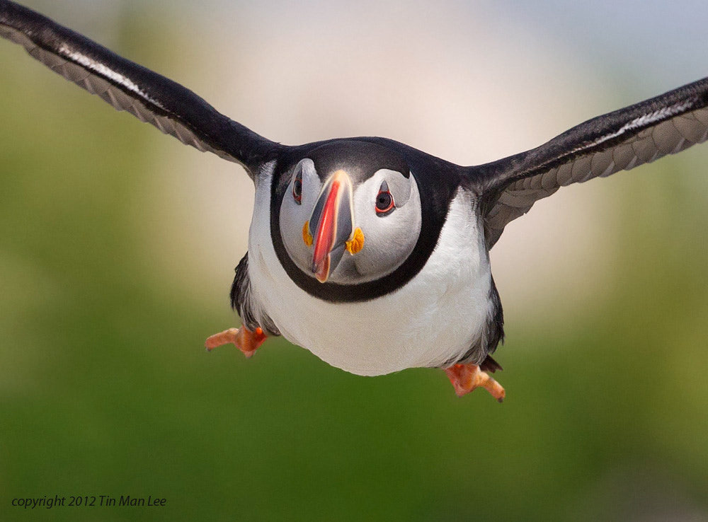 Photograph Puffin Incoming by Tin Man on 500px