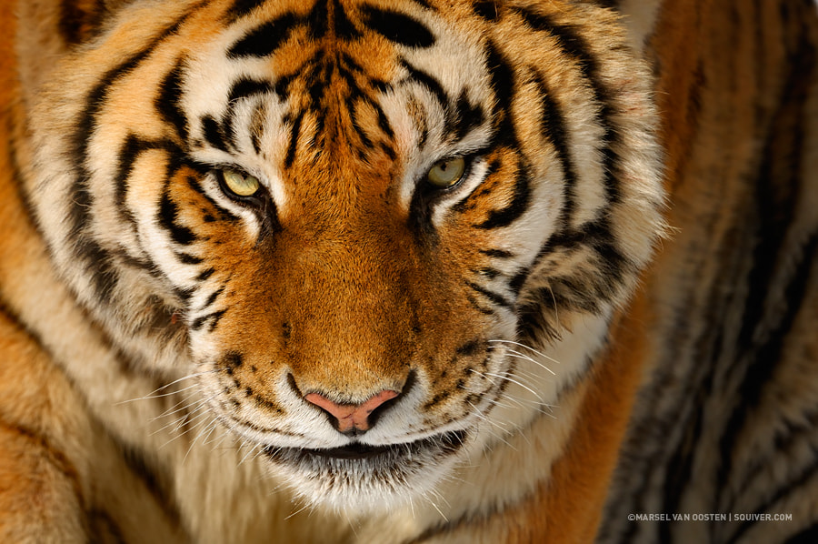 Photograph Siberian Tiger by Marsel van Oosten on 500px