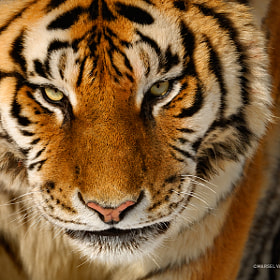 Siberian Tiger by Marsel van Oosten (MarselvanOosten)) on 500px.com