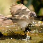 Постер, плакат: Bird bath splash