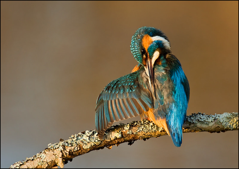 Photograph kingfisher preening by Tony Flashman on 500px