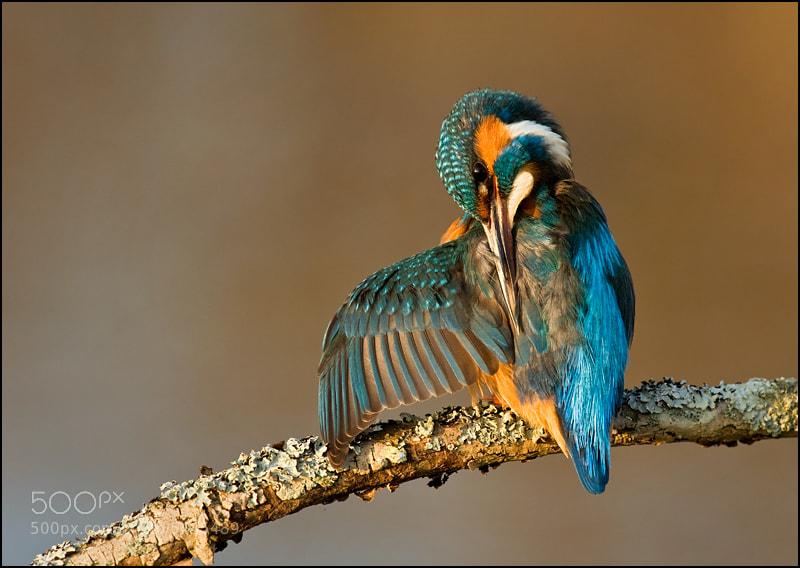 Photograph kingfisher preening by Tony Flashman on 500px