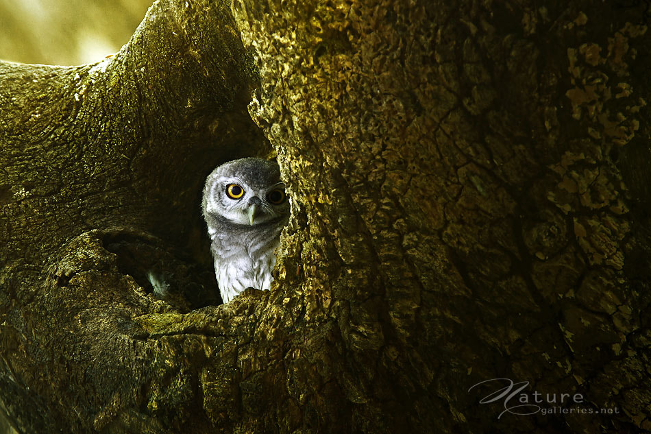 Photograph Spotted-Owlet by Sasi - smit on 500px