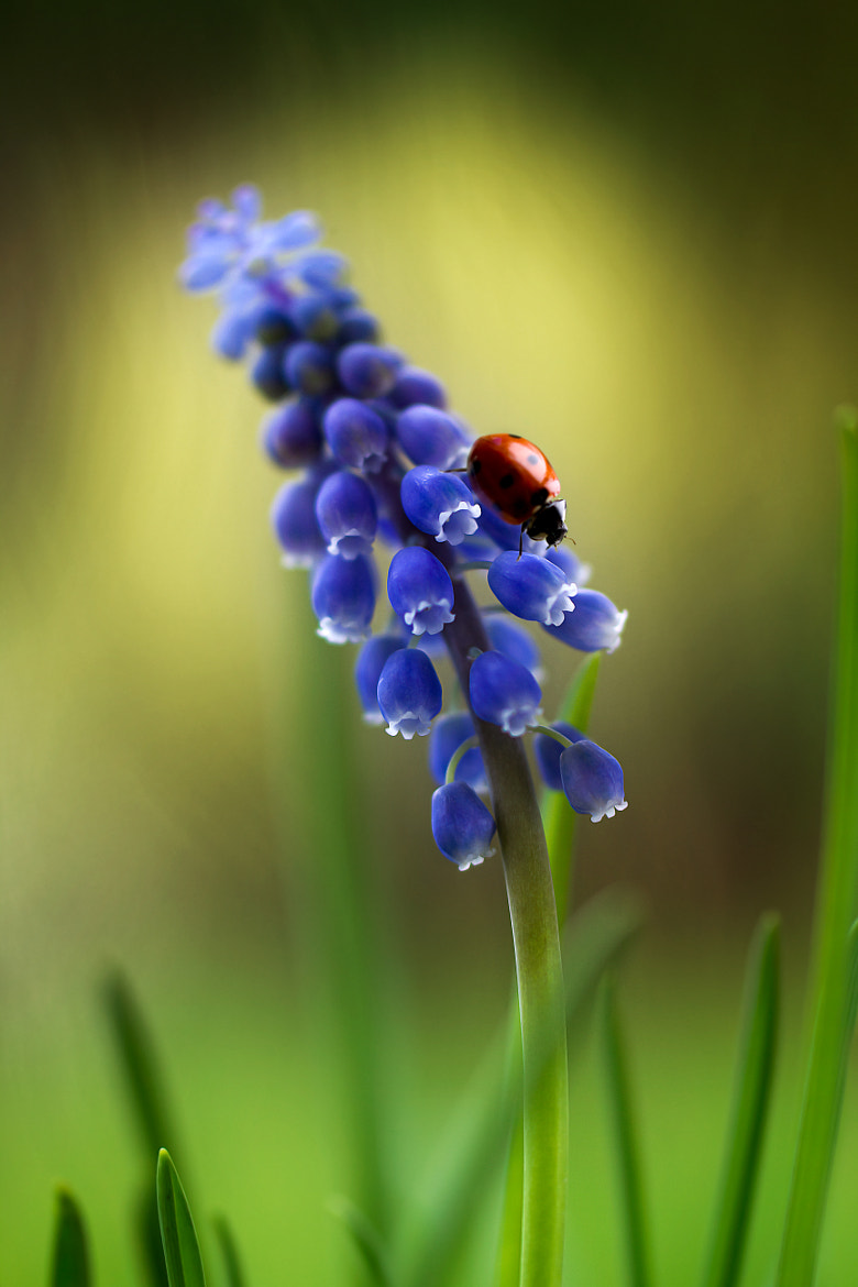 Photograph Muscari lady by Mandy Disher on 500px