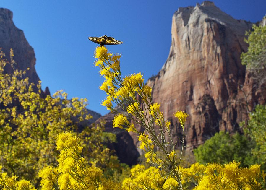 Butterfly in Zion