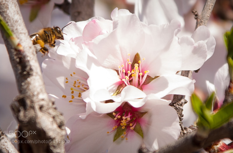 Bee and Almond blossom