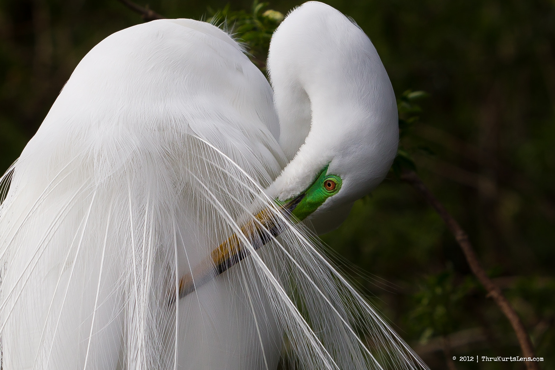 Photograph Blooming Great Egret by ThruKurtsLens.com (Kurt Wecker) on 500px