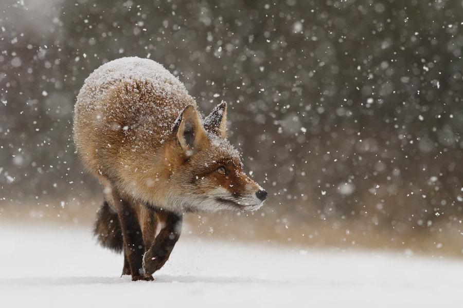 Photograph Fox' First Snow by Roeselien Raimond on 500px