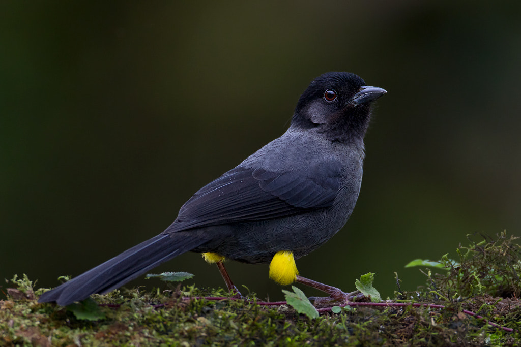 Photograph Yellow-thighed Finch by Doug Brown on 500px