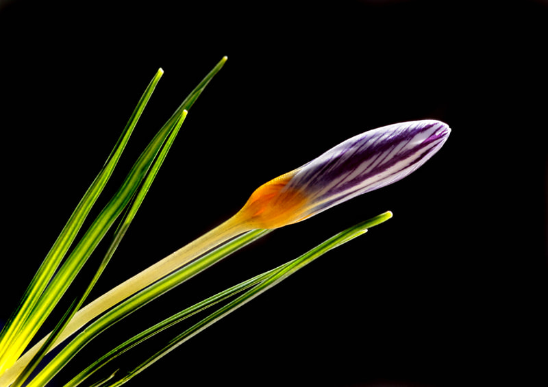 Photograph Crocus. by Necdet Yasar on 500px
