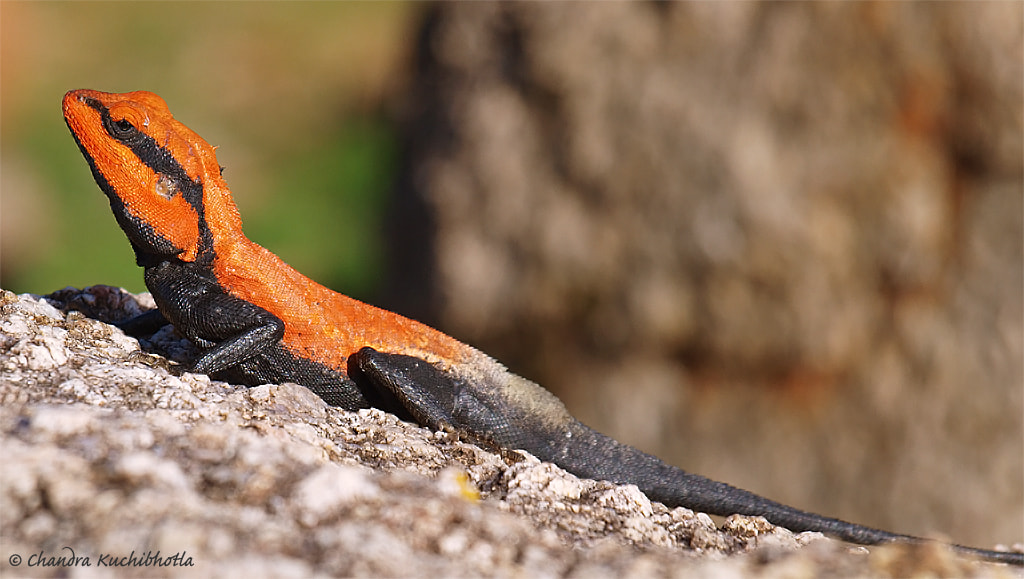 Photograph Rock Agama by Chandra Kuchibhotla on 500px
