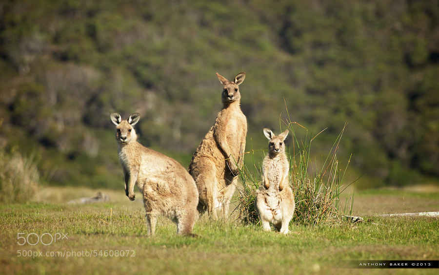 Photograph Narawntapu Kangaroos by Anthony Baker on 500px