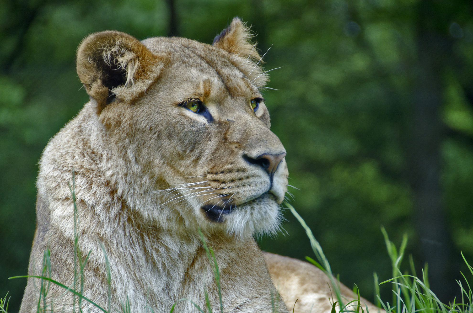 Photograph Lioness by Paul Rowan on 500px