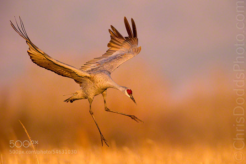 Sunset tochdown Sandhill Crane by Christopher Dodds