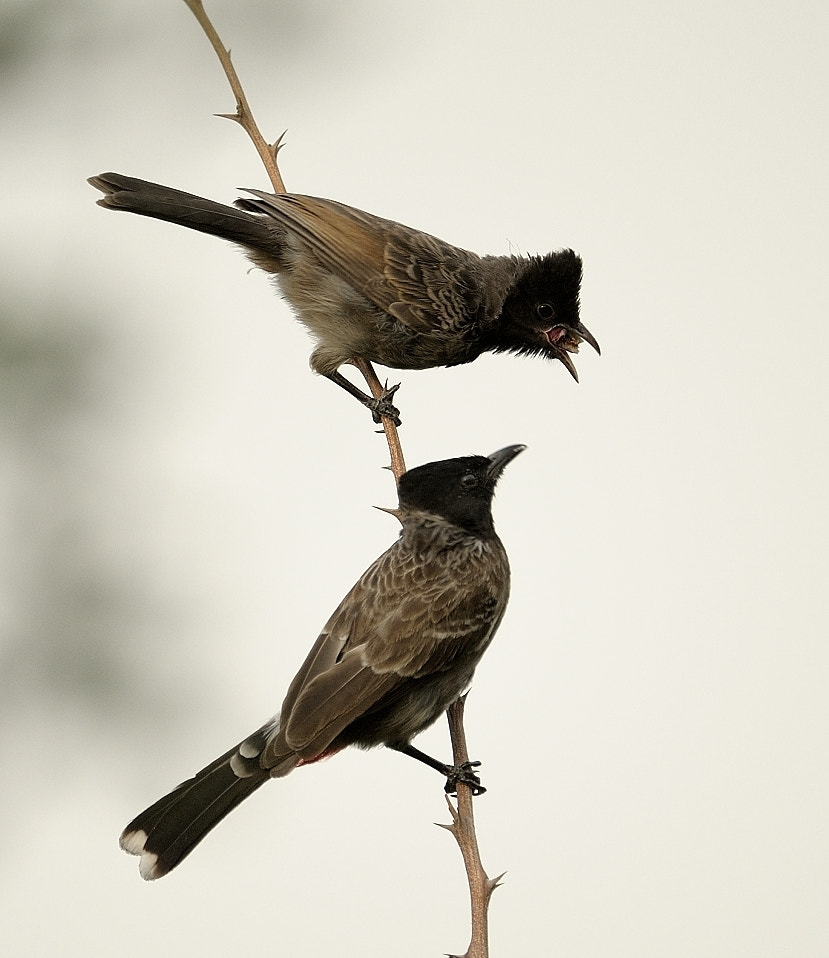 Photograph Red Vented Bulbuls by prerna Jain on 500px