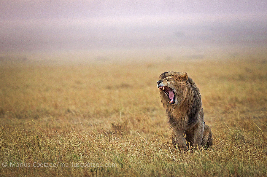 Rain Lion by Marius Coetzee on 500px.com