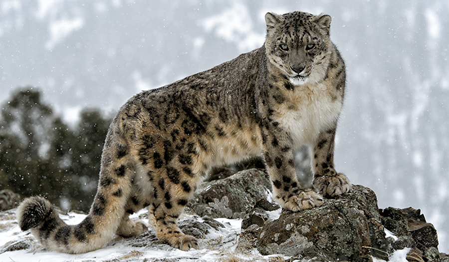 Photograph Snow Leopard in the snow by Christopher R. Gray on 500px