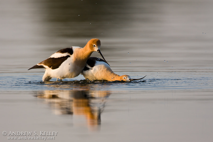 Photograph Avocet Courtship by Andrew Kelley on 500px