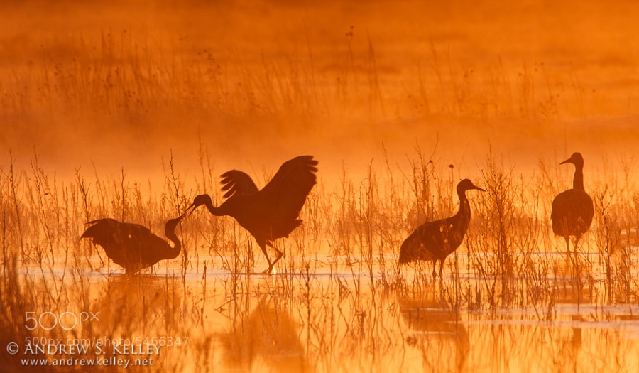 Photograph Squabbling Cranes by Andrew Kelley on 500px
