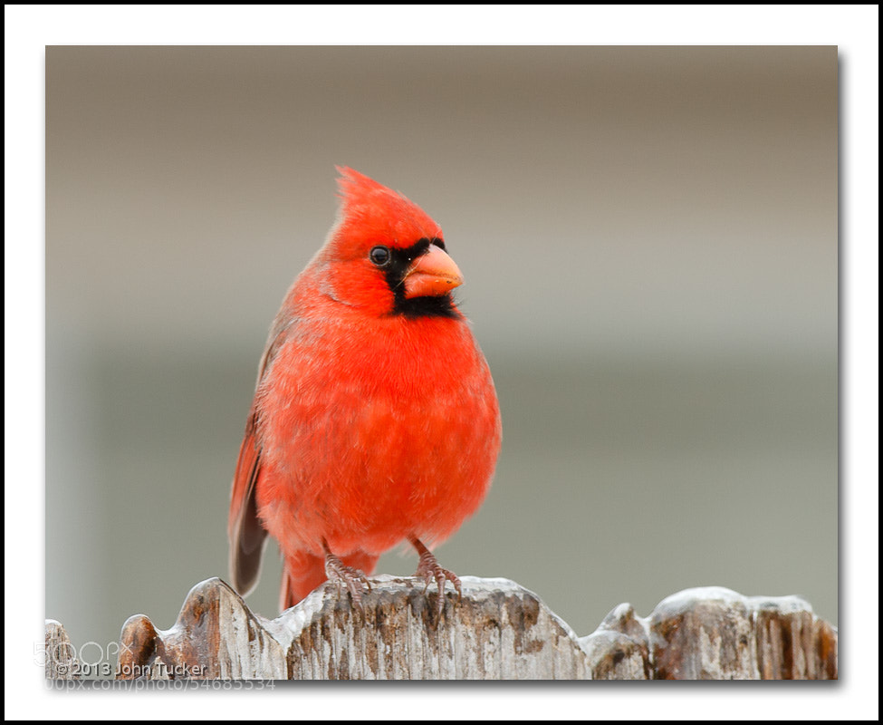 Photograph Northern Cardinal (M) by John Tucker on 500px