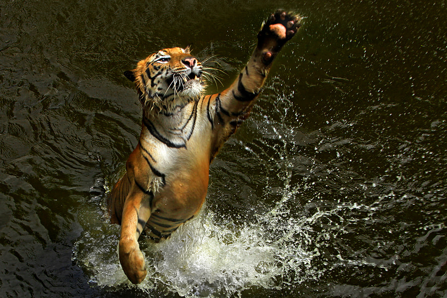 Photograph Tiger Dance by Jeffry Surianto on 500px