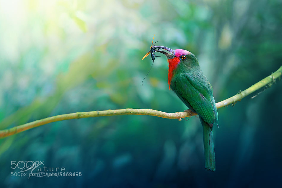 Photograph Red bearded Bee-eater by Sasi - smit on 500px