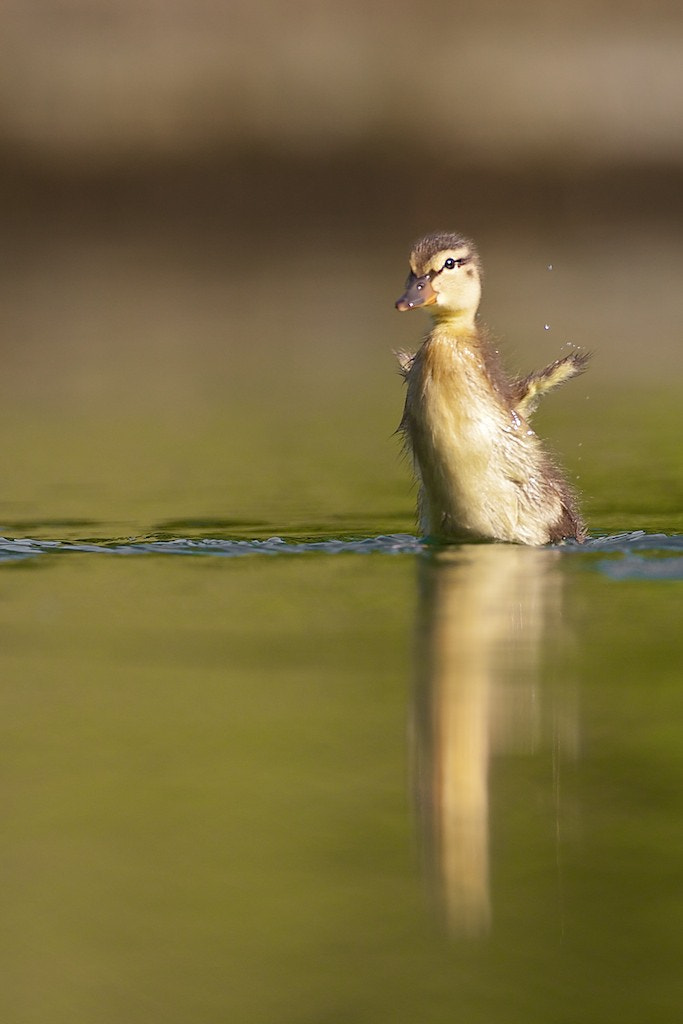 Photograph Mallard Duckling by David Featherbe on 500px